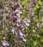 Kaukasus Gamander Paradise Delight - Teucrium hyranicum