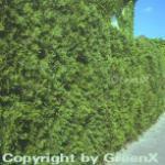Lebensbaum Brabant 40-60cm - Thuja occidentalis