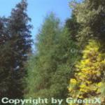 Faden Thuja Filiformi 30-40cm - Thuja occidentalis