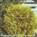 Lebensbaum Golden Globe 80-100cm - Thuja occidentalis