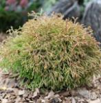 Lebensbaum Golden Tuffet 20-25cm - Thuja occidentalis