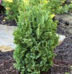 Lebensbaum Holmstrup 100-125cm - Thuja occidentalis