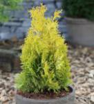 Goldgelber Lebensbaum Jantar 80-100cm - Thuja occidentalis