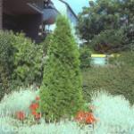 Smaragd Lebensbaum 100-125cm - Thuja occidentalis