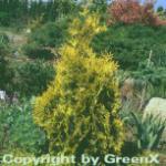 Lebensbaum Sunkist 60-70cm - Thuja occidentalis