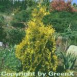 Lebensbaum Sunkist 70-80cm - Thuja occidentalis