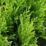 Gelber Zwerglebensbaum 40-50cm - Thuja orientalis Aurea Nana
