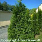 Riesen Lebensbaum Atrovirens 60-80cm - Thuja plicata