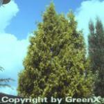 Gelber Riesenlebensbaum 80-100cm - Thuja plicata