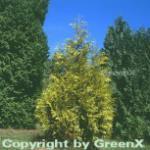 Lebensbaum Zebrina 60-80cm - Thuja plicata