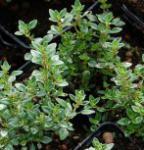 Echter Zitronen Thymian Lemon Variegated - Thymus citriodorus