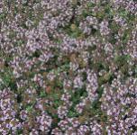 Zitronen Kümmel Thymian - Thymus herba-barona