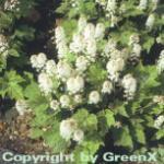 Herzblättrige Schaumblüte - Tiarella cordifolia