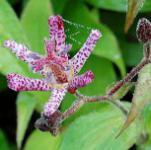 Violette Krötenlilie Dark Beauty - Tricyrtis formosana