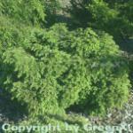Kanadische Zwerg Hemlocktanne 40-50cm - Tsuga canadensis
