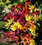 Irantulpe - Tulipa urumiensis