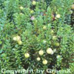 10x Großfrüchtige Moosbeere Cranberry 10-15cm - Vaccinium macrocarpon
