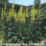 Großblütige Königskerze - Verbascum densiflorum