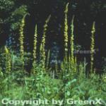 Dunkle Königskerze - Verbascum nigrum