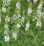 Phönizische Königskerze Flush of White - Verbascum phoeniceum