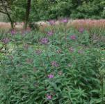 Arkansas Scheinaster - Vernonia crinita