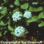 Koreanischer Duftschneeball 40-60cm - Viburnum carlesii