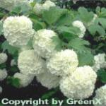 Echter Schneeball 80-100cm - Viburnum opulus Roseum
