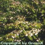 Hochstamm Japanischer Schneeball Pink Beauty 80-100cm - Viburnum plicatum