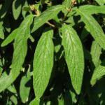 Immergrüner Zungen Schneeball Willowwood 40-60cm - Viburnum rhytidophyllum