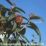 Immergrüner Zungen Schneeball 80-100cm - Viburnum rhytidophyllum