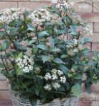 Mittelmeer Schneeball Eve Price 80-100cm - Viburnum tinus