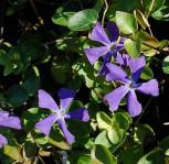 Immergrün Darlington Star - Vinca major