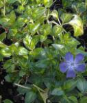 Immergrün Reticulata - Vinca major