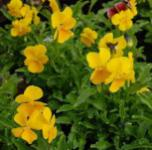 Hornveilchen Lutea Splendens - Viola cornuta