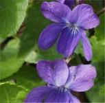 Duftveilchen - Viola odorata