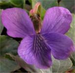 Pfingst Veilchen Rubra - Viola sororia