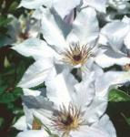 Waldrebe Snow Queen 60-80cm - Clematis