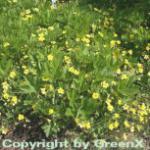 Gelapptblättrige Waldsteinie - Waldsteinia geoides