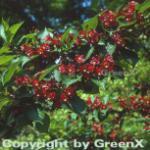 Weigelie Red Prince 80-100cm - Weigela