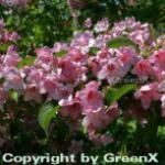 Weigelie Rosea 40-60cm - Weigela florida