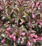 Weigelie Alexandra® 40-60cm - Weigela florida