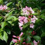 Liebliche Weigelie 80-100cm - Weigela florida