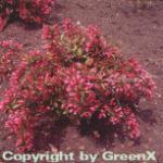 Weigelie Victoria 60-80cm - Weigela florida