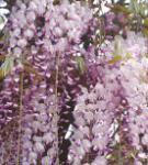 Blauregen Macrobotrys 60-80cm - Wisteria floribunda
