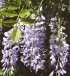 Chinesischer Blauregen Prolific 60-80cm - Wisteria sinensis