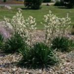 Palmlilie 40-60cm - Yucca filamentosa