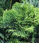 Gelbe Zwerg Muschelscheinzypresse 25-30cm - Chamaecyparis obtusa