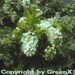 Eichenblättrige Hortensie 60-80cm - Hydrangea quercifolia