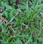 Waldmarbel Aureomarginata - Luzula sylvatica