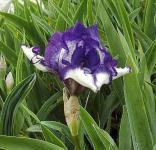 Zwergschwertlilie Petit Polka - Iris barbata nana